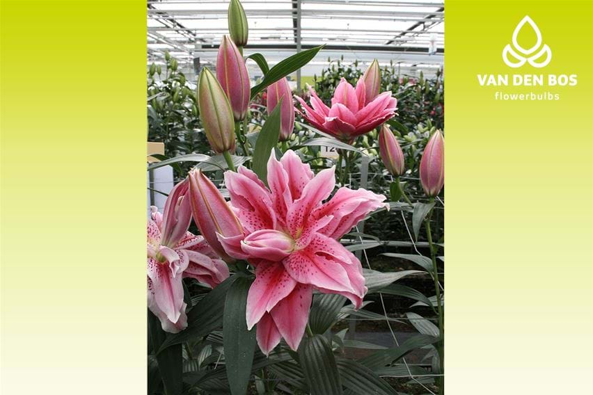 Roselily Thalissa®