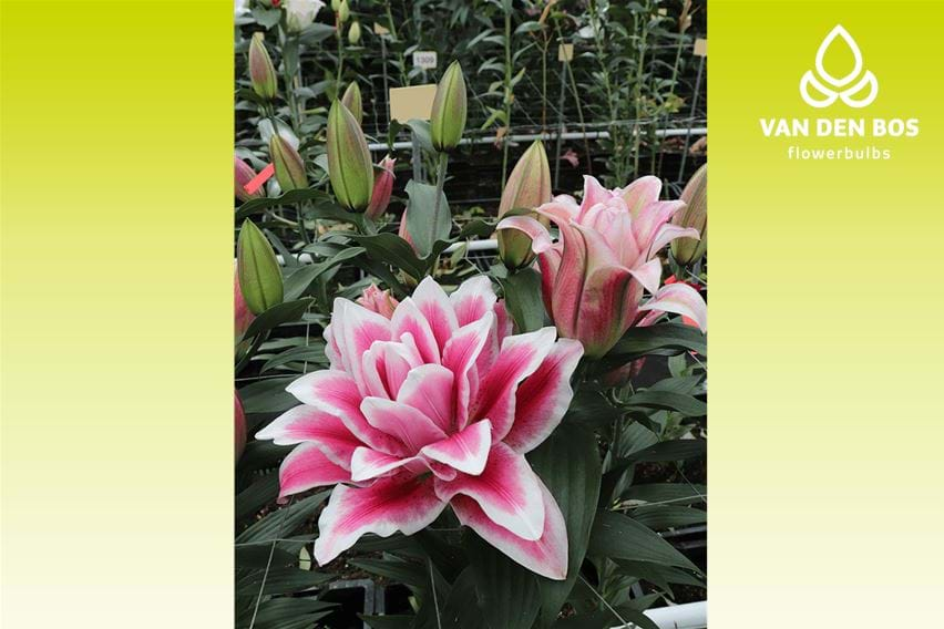 Roselily Olympia®